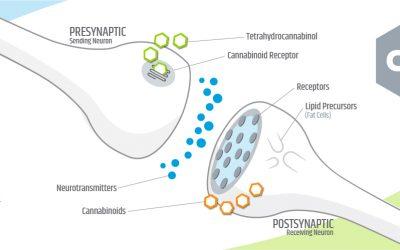 Endocannabinoid System – CB1 and CB2 Receptors